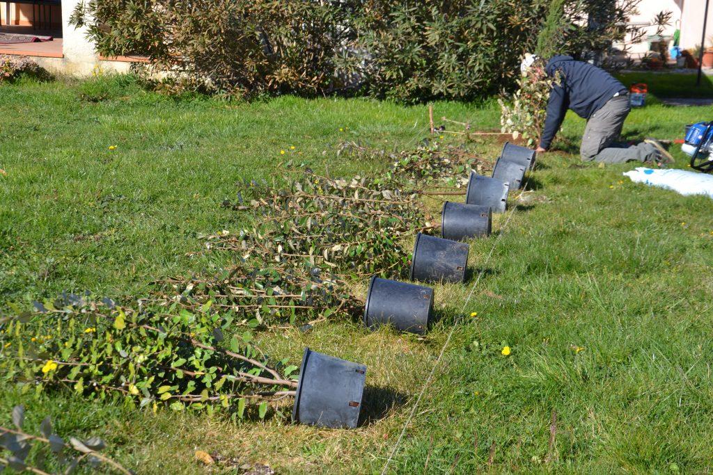 jardinage plantation haie végétale